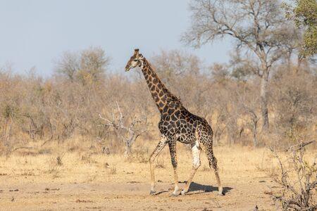 Male Southern Giraffe, dark form adult bull