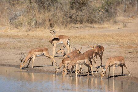 Herd of Impala, Kruger Park, South Africa Stok Fotoğraf