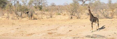 African Wildlife banner, Giraffe and Elephant, Kruger, Park, safari, South, Africa Stok Fotoğraf