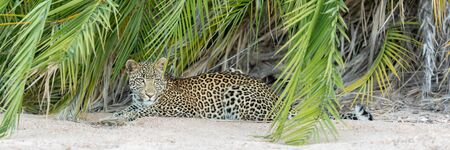 African Leopard lying on sand, South Africa