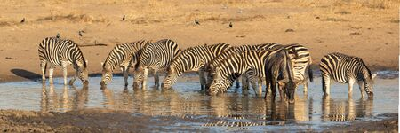 Herd of Zebra in Kruger Park, South Africa Stok Fotoğraf