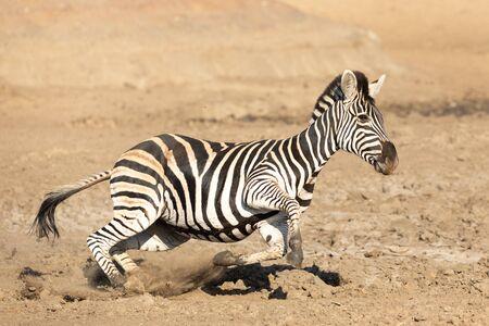 Zebra running at speed, South Africa Stok Fotoğraf