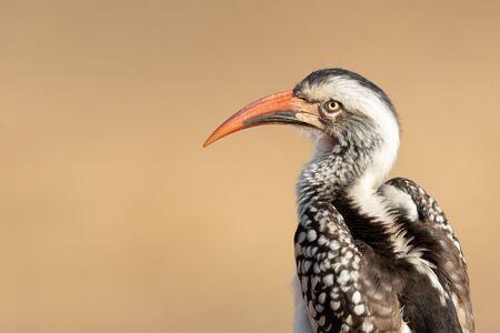 Southern Red Billed Hornbill, Kruger, South Africa