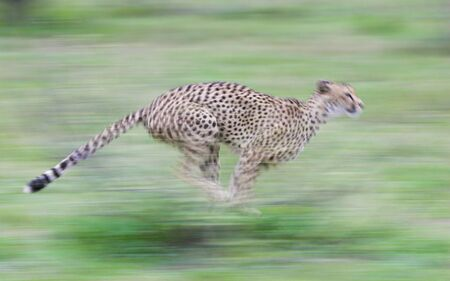 Cheetah running fast showing speed panning motion blur South Africa Banque d'images