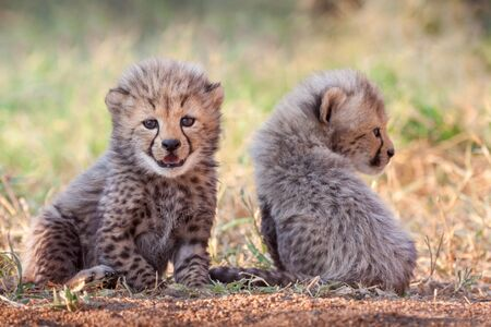Two very small cute Cheetah cubs at 4 weeks old Kruger Park South Africa
