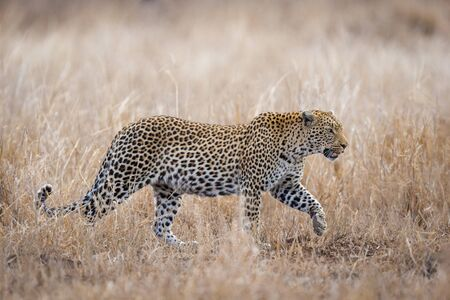 One single adult female African Leopard walking through grass Kruger park South Africa