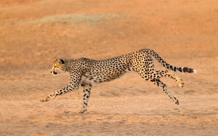 Adult male Cheetah running on sand Kruger park South Africa