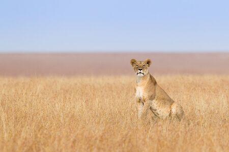 Eine einsame Löwin auf dem offenen Grasland der Masai Mara in Kenia