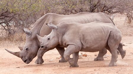 One adult White Rhino female with her sub adult calf Kruger Park South Africa