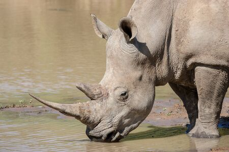 One adult White Rhino drinking at a waterhole in South Africa Kruger Park
