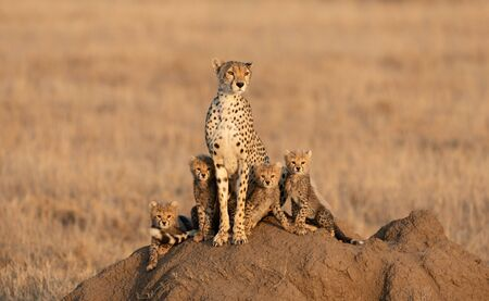 Adult female Cheetah with her four small cubs sitting on a termite mound in the Serengeti National Park Tanzania