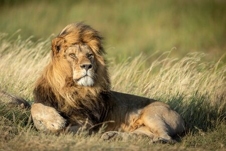 Image of a large adult male Lion lying down with the wind blowing through his mane in the Serengeti National Park Tanzania