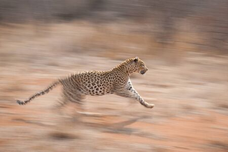 Motion capture of a running leopard with soft blurred background in afternoon light Kruger Park South Africa