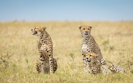 Three adult cheetah brothers sitting in the Masai Mara savannah in Kenya