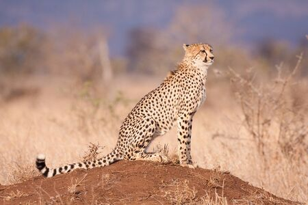 One adult cheetah side view sitting on a termite mound in dry season in Kruger Park South Africa Stock Photo