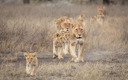 Lion pride led by an adult female lioness with lots of lion cubs walking in the dry bush in Ndutu Tanzania
