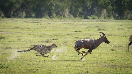 Cheetah chasing adult male Topi at full speed in the green plains of Masai Mara Kenya