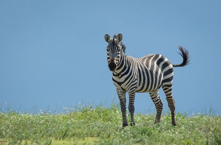 One male zebra with flies around it's mouth standing amongst green grass waving tail with blue sky in the background in Ndutu Tanzania