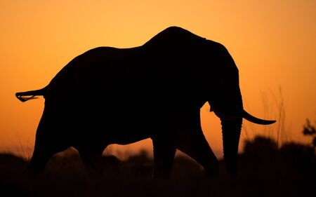 One adult female elephant with one tusk silhouette side view walking in Khwai Okavango Delta Botswana
