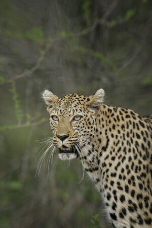 Vertical portrait of an old male leopard with long whiskers with green background in Kruger Park South Africa Imagens