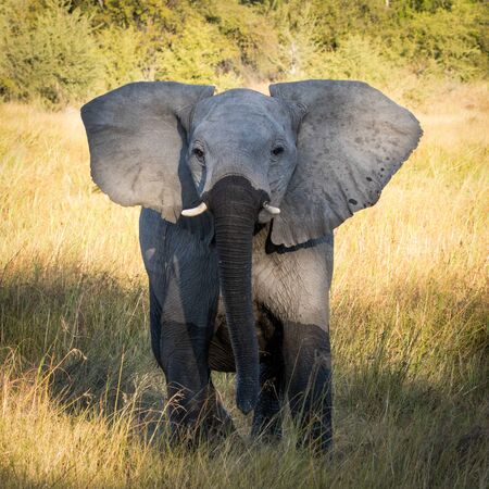 One young elephant with small tusks and a wet trunk and legs standing interested with open ears in Khwai Okavango Delta Botswana Zdjęcie Seryjne