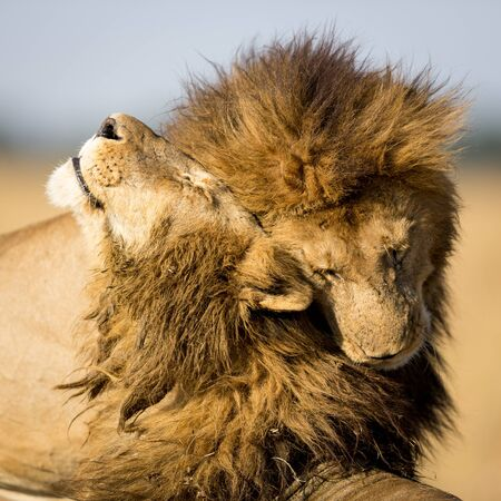 Two male lions with big manes greeting each other by rubbing their heads in Masai Mara Kenya