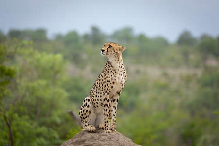 Cheetah sitting on a termite mound looking up and showing alertness in Kruger Park South Africa