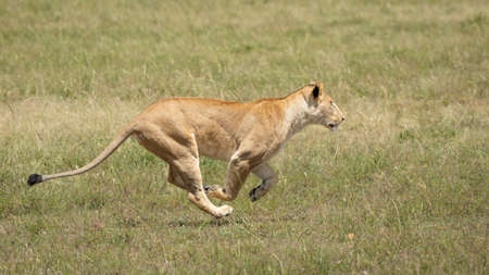 Lioness running at speed on green grassy fields of Masai Mara hunting prey in Kenya