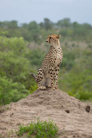 Adult cheetah sitting upright on a termite mound looking to the left in Kruger Park South Africa