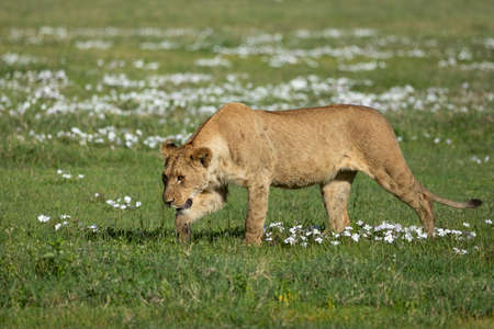 Adult lioness walking on the green plains of Ngorongoro Crater covered with green grass and little white flowers in Tanzania