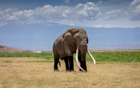 Adult male elephant called Tim with huge white tusks walking in the grassy plains of Amboseli with Mount Kilimanjaro in background covered in clouds
