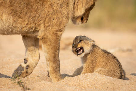 Lion cub snarl showing teeth sitting in sandy riverbed in Kruger Park South Africa