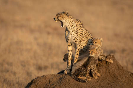 Mother and baby cheetahs sitting on a termite mound with the female cheetah yawning showing her teeth in Serengeti National Park in Tanzania Stock Photo