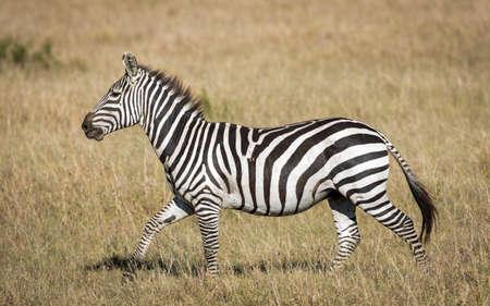 Horizontal cut out of adult zebra walking on a sunny day in Masai Mara Kenya