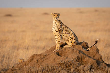 Mother and baby sitting on a termite mound looking alert in Serengeti National Park in Tanzania Stock Photo