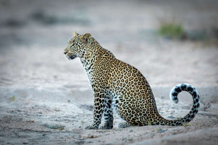 A side view of an adult leopard sitting alert in sand looking in Kruger Park South Africa