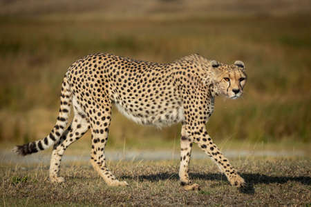 Full body side view of an adult cheetah with long whiskers and orange eyes walking in Ndutu Tanzania