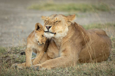 Lioness and her small cub lying down in short grass in Ngorongoro in Tanzania Foto de archivo