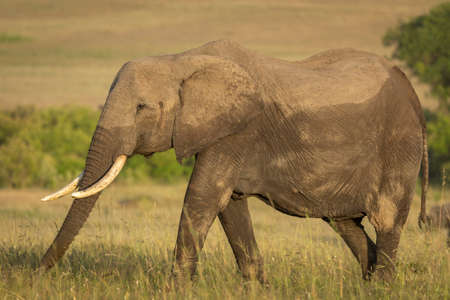 Female elephant walking in grassy plains of Masai Mara in yellow sunlight in Kenya Foto de archivo