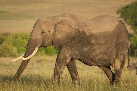 Female elephant walking in grassy plains of Masai Mara in yellow sunlight in Kenya Imagens