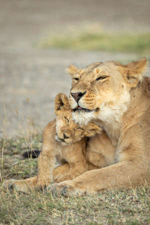 Lioness and her lion cub lying down on dry grass in Ndutu in Tanzania
