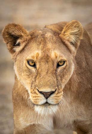 Vertical portrait of a lioness in Ndutu in Tanzania