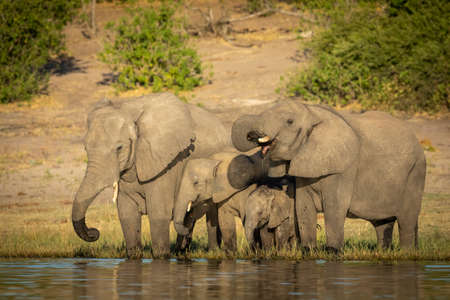 Family of elephants standing at edge of Chobe River drinking water in Botswana