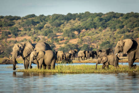 Elephants standing on a grassy bank of Chobe River drinking water in late afternoon in Botswana Imagens