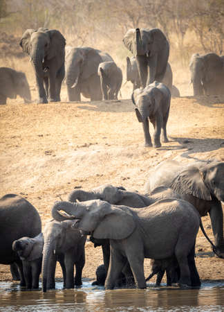 Large elephant herd standing in shallow water drinking in Kruger Park in South Africa