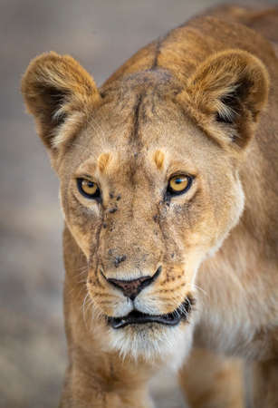 Vertical portrait of a lioness in Kruger Park in South Africa