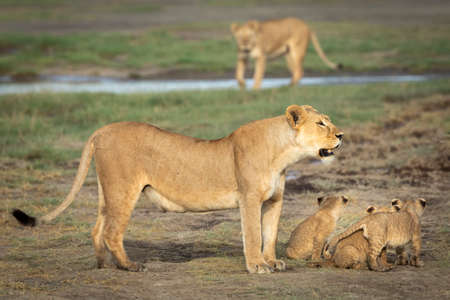 Lioness and her three baby lions standing together in Ndutu in Tanzania