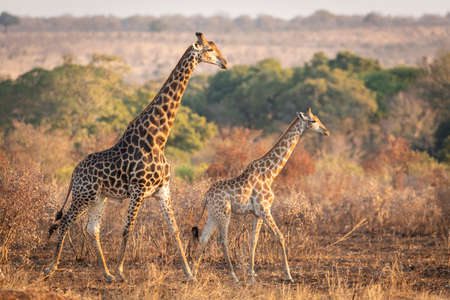 Male and female mating giraffe walking in autumn light in Kruger Park in South Africa