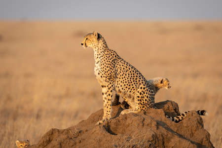 Cheetah mother and baby cheetahs sitting on a termite mound in golden afternoon light looking alert in Serengeti Tanzania