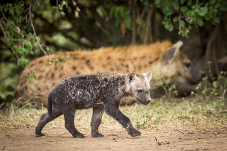 Small baby hyena walking near its mother looking alert in Masai Mara in Kenya Stock Photo